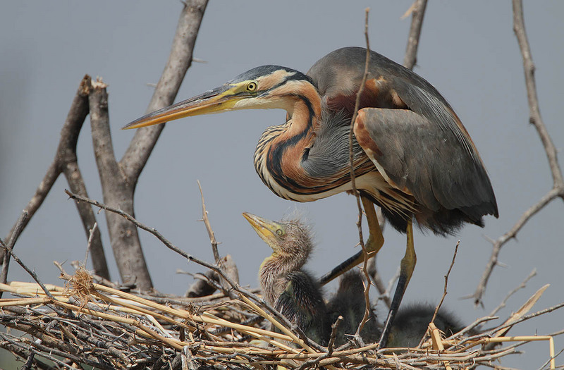 Ardea purpurea -Lake Baringo, Great Rift Valley, Kenya -adult and chicks-8 - purple heron (Ardea purpurea).jpg