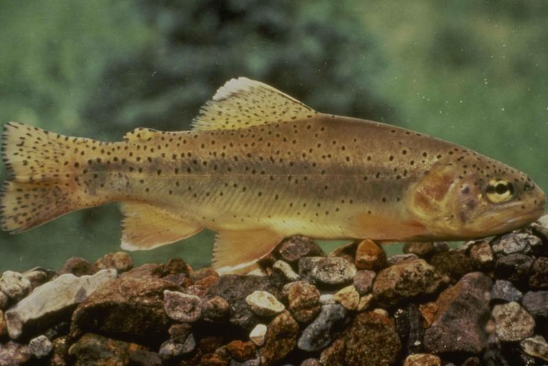 Apache trout (Oncorhynchus apache); DISPLAY FULL IMAGE.