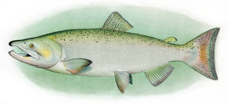 Chinook Salmon Adult Male - Chinook salmon (Oncorhynchus tshawytscha).jpg