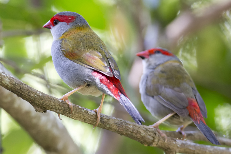 red-browed finch (Neochmia temporalis); DISPLAY FULL IMAGE.
