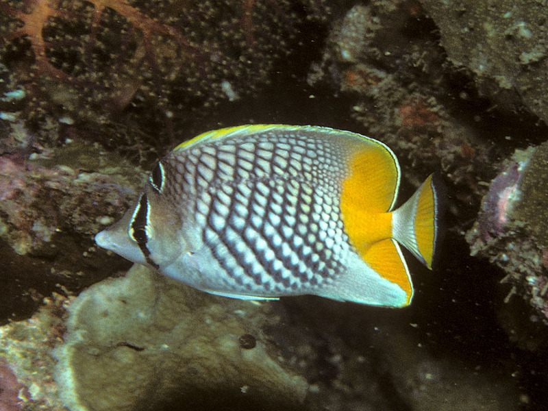 pearlscale butterflyfish (Chaetodon xanthurus); DISPLAY FULL IMAGE.