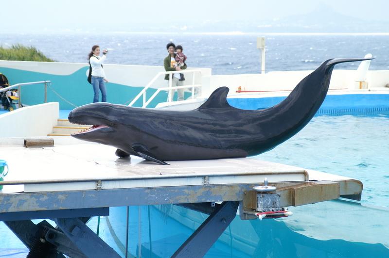 Pseudorca, Okinawa Churaumi - false killer whale (Pseudorca crassidens).jpg