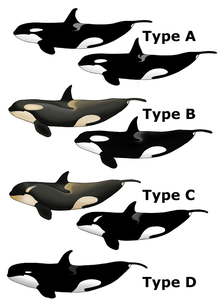 an analysis of the types of whale in scientific classification