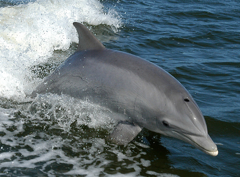 Tursiops truncatus 01-cropped - common bottlenose dolphin, Atlantic bottlenose dolphin (Tursiops truncatus).jpg
