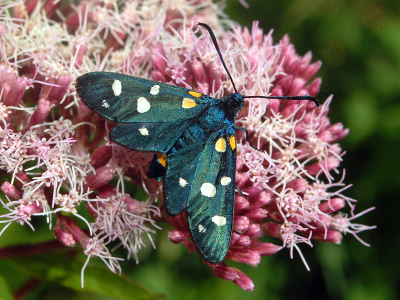 Zygaena ephialtes, variable burnet; DISPLAY FULL IMAGE.