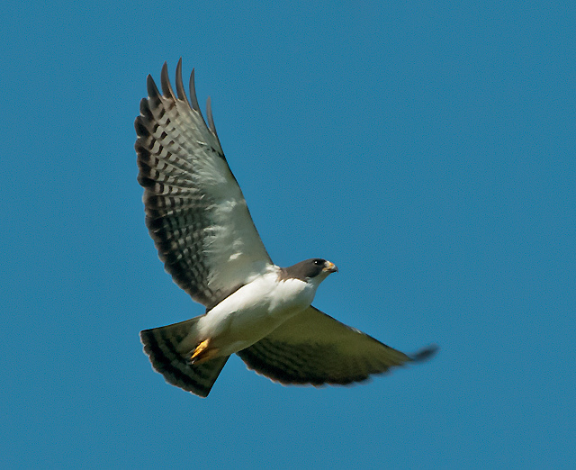 short-tailed hawk (Buteo brachyurus); Image ONLY