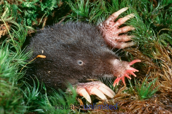 star-nosed mole (Condylura cristata); Image ONLY