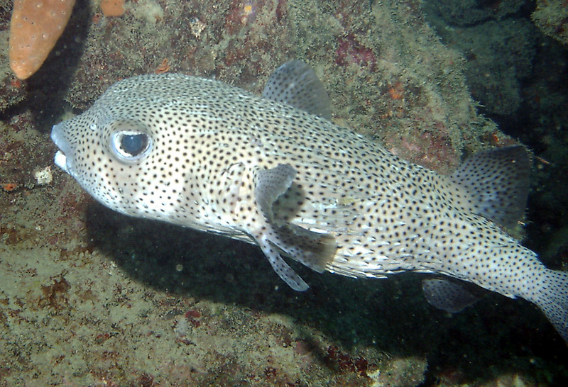 spot-fin porcupinefish, spotted porcupinefish (Diodon hystrix); DISPLAY FULL IMAGE.