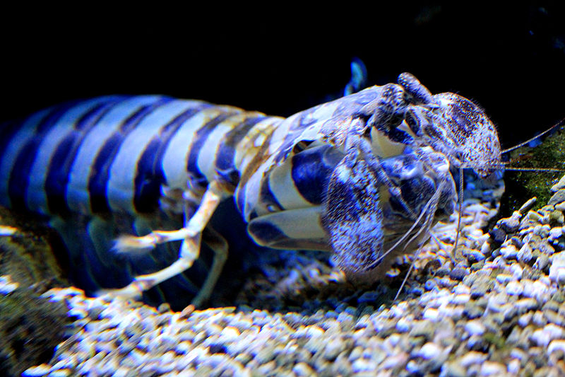 mantis shrimp essay Heather hamilton on shrimp  (from an essay called i'm a welfare mom my mother was and is a fighter and is curiously fascinated by the praying mantis.