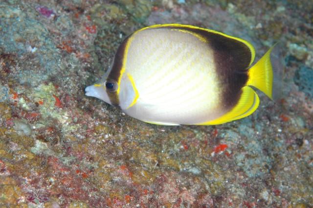 Chaetodon gardineri (Norman, 1939) - Chaetodon gardineri, Gardner's butterflyfish.jpg