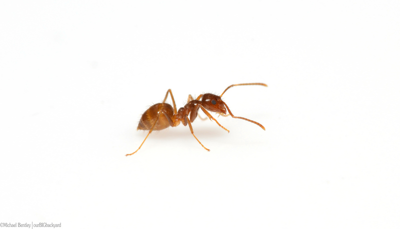 Rasberry crazy ant, tawny crazy ant (Nylanderia fulva); DISPLAY FULL IMAGE.