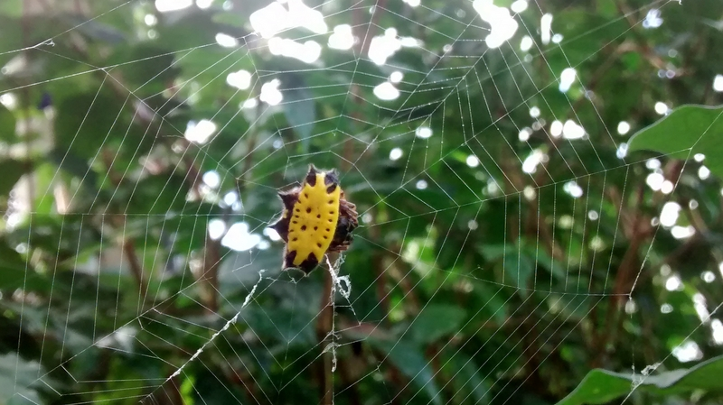 Gasteracantha cancriformis (spinybacked orbweaver spider); DISPLAY FULL IMAGE.