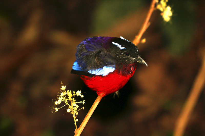 Black-crowned pitta (Pitta ussheri) - black-crowned garnet pitta, black-headed pitta (Erythropitta ussheri).jpg