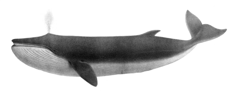 fin whale (Balaenoptera physalus); DISPLAY FULL IMAGE.