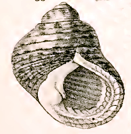 Monodonta australis, toothed topshell; Image ONLY