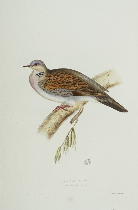 European turtle dove (Streptopelia turtur); Image ONLY