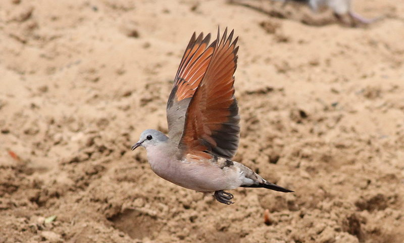 emerald-spotted wood dove (Turtur chalcospilos); DISPLAY FULL IMAGE.