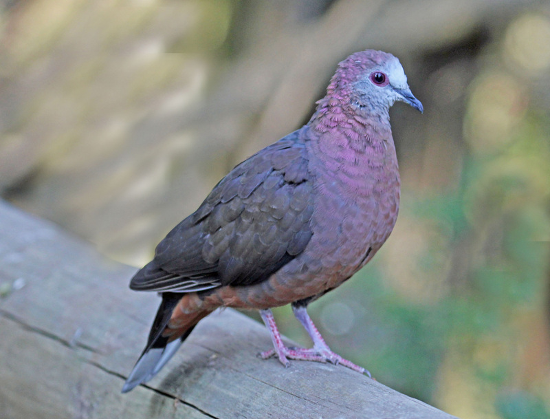 lemon dove, cinnamon dove (Columba larvata); DISPLAY FULL IMAGE.