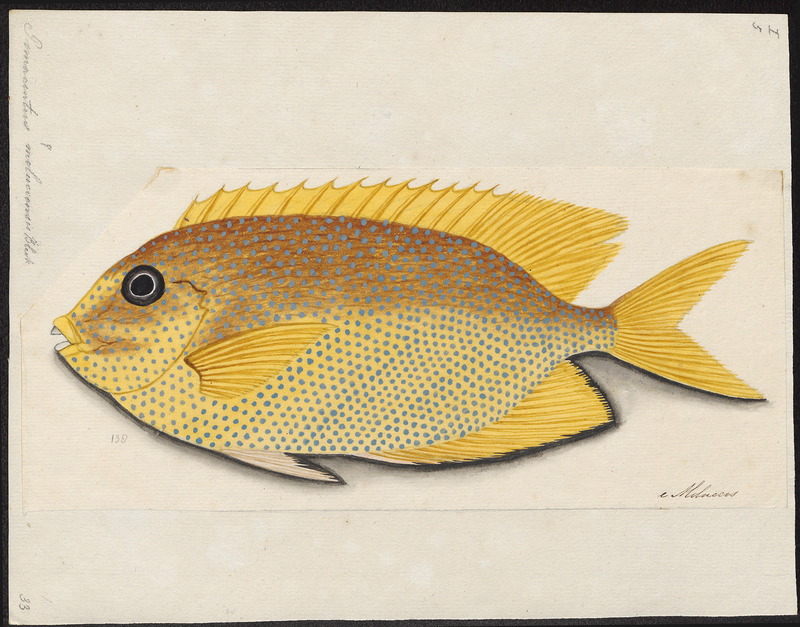 Pomacentrus moluccensis, lemon damselfish; DISPLAY FULL IMAGE.