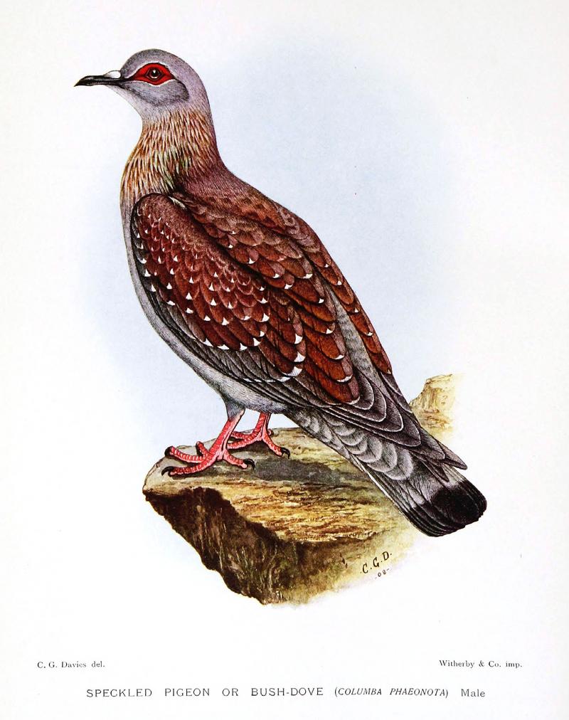 Columba.Phaeonota.Davies - speckled pigeon, African rock pigeon (Columba guinea).jpg