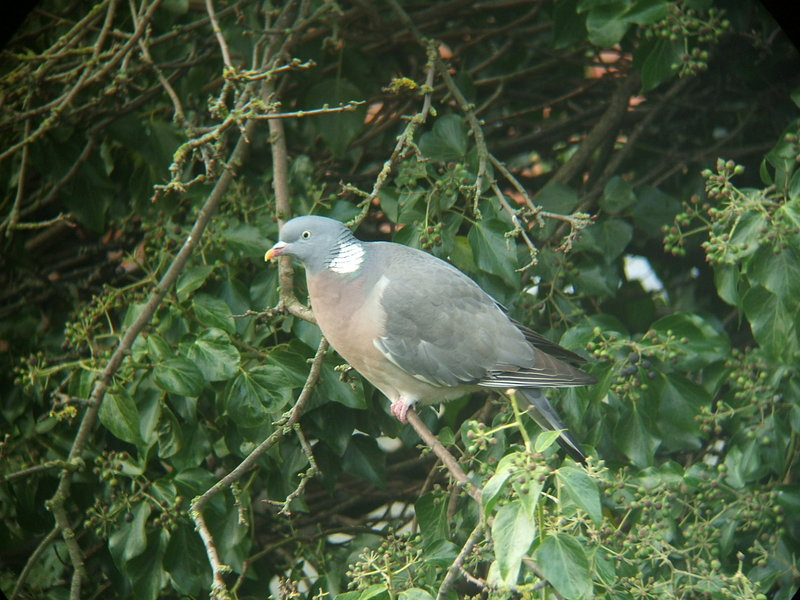 Azores Wood pigeon - Azores wood pigeon (Columba palumbus azorica).jpg