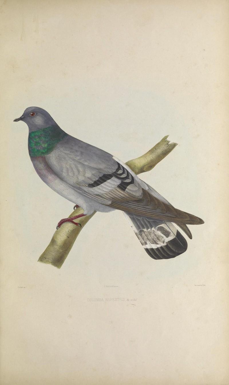 Iconographie des pigeons (Pl. LXXV) (8100052611) - hill pigeon, eastern rock dove, Turkestan hill dove (Columba rupestris).jpg