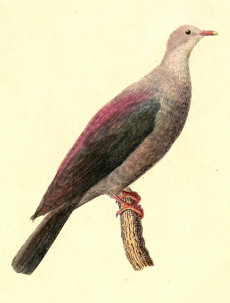 Bonin wood pigeon (Columba versicolor); DISPLAY FULL IMAGE.