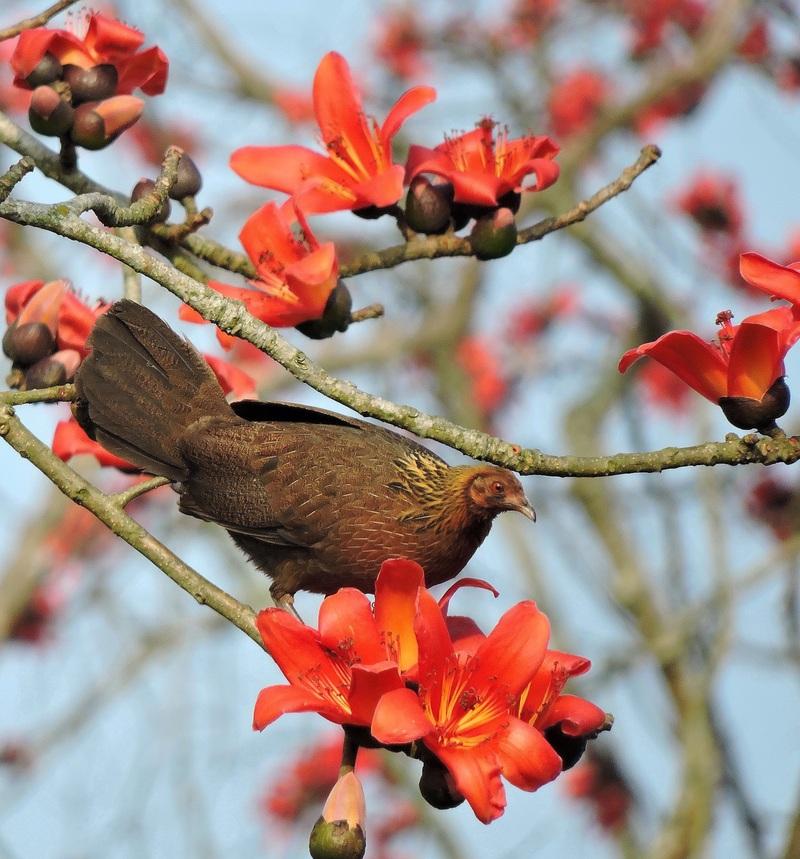 Red Jungle Fowl in Kaziranga - red junglefowl (Gallus gallus).jpg