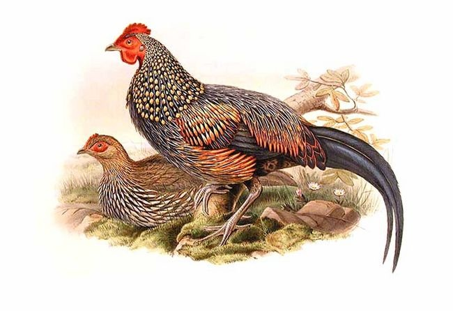 Grey jfowl jgould - grey junglefowl (Gallus sonneratii).jpg