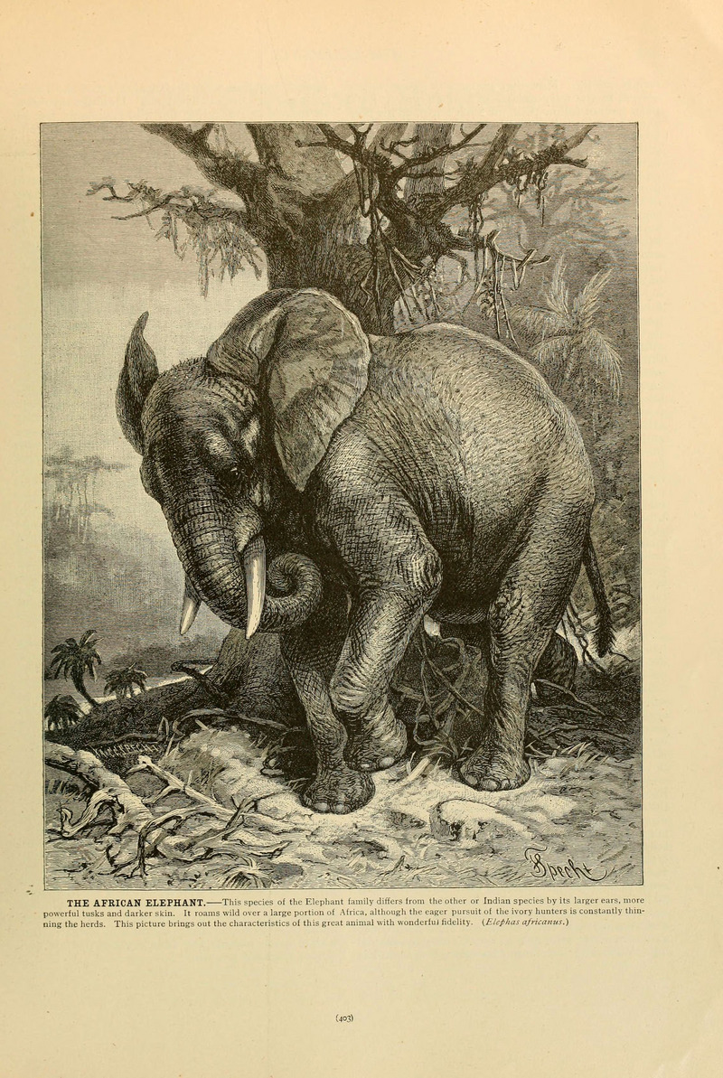Brehm's Life of animals (Page 403) (6220691590) - African bush elephant (Loxodonta africana).jpg