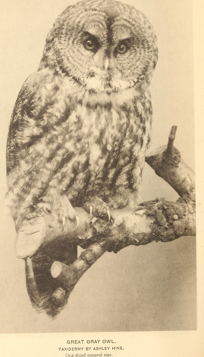 great grey owl, great gray owl (Strix nebulosa); DISPLAY FULL IMAGE.