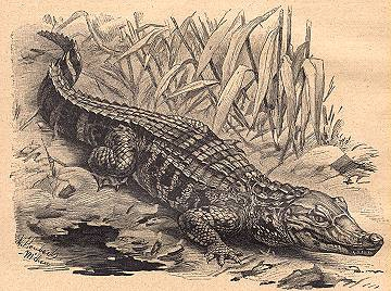 broad-snouted caiman (Caiman latirostris); Image ONLY