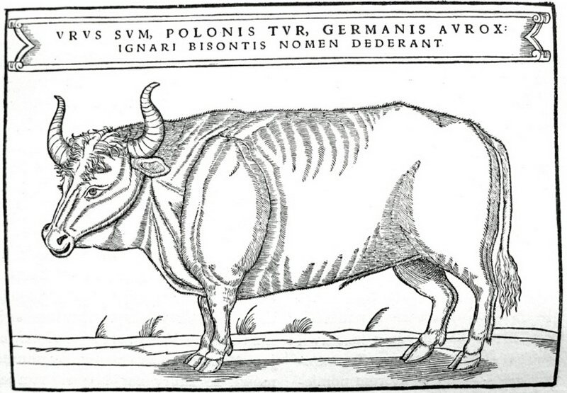 aurochs, urus, ure (Bos primigenius); DISPLAY FULL IMAGE.