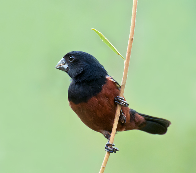 chestnut-bellied seed finch (Oryzoborus angolensis); Image ONLY
