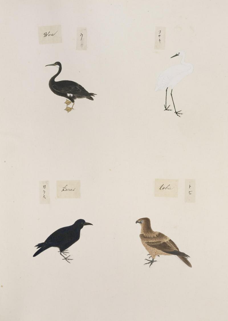 Naturalis Biodiversity Center - RMNH.ART.305 - Phalacrocorax pelagicus - Egretta garzetta - Milvus migrans - Corvus macrorhynchos - Kawahara Keiga - 1823 - 1829 - Siebold Collection - pencil drawing - water colour.jpeg