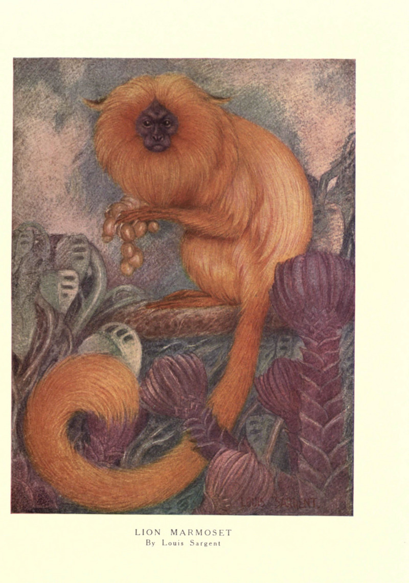 golden lion tamarin, golden marmoset (Leontopithecus rosalia); DISPLAY FULL IMAGE.