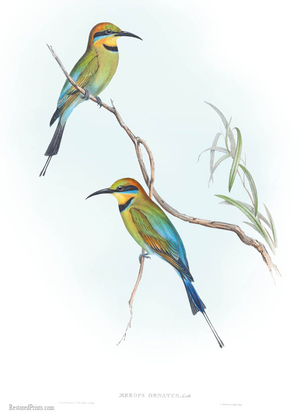 rainbow bee-eater (Merops ornatus); Image ONLY