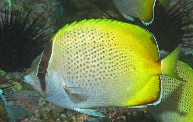 Chaetodon.Guentheri.RLS - Chaetodon guentheri, Crochet butterflyfish.jpg