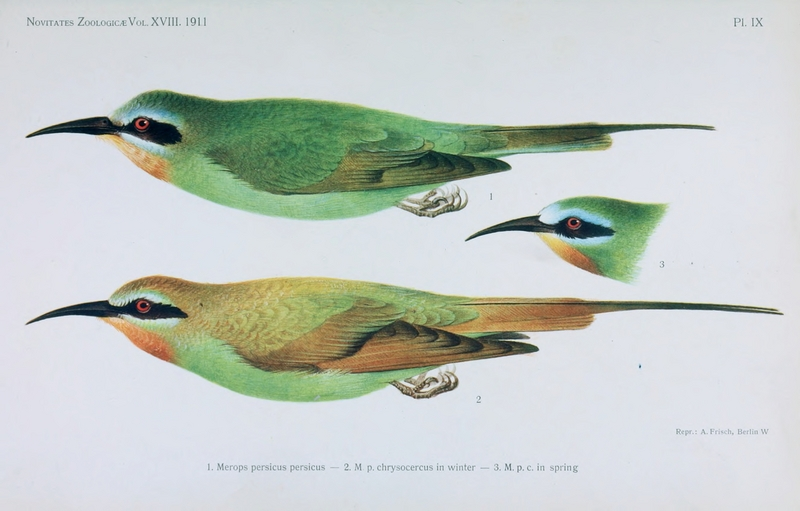 blue-cheeked bee-eater (Merops persicus); DISPLAY FULL IMAGE.