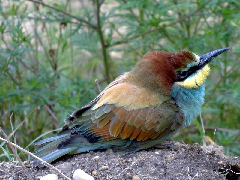 Gyurgyalag (Merops apiaster) - European bee-eater (Merops apiaster).jpg
