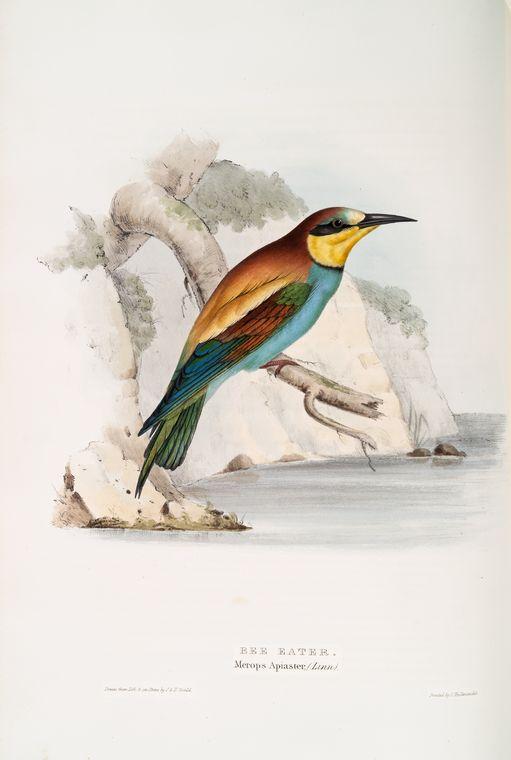Merops.Apiaster.Gould - European bee-eater (Merops apiaster).jpg