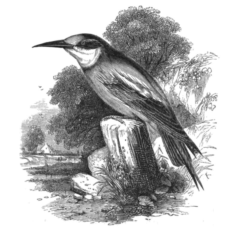 Natural History, Birds - Bee-eater - European bee-eater (Merops apiaster).jpg
