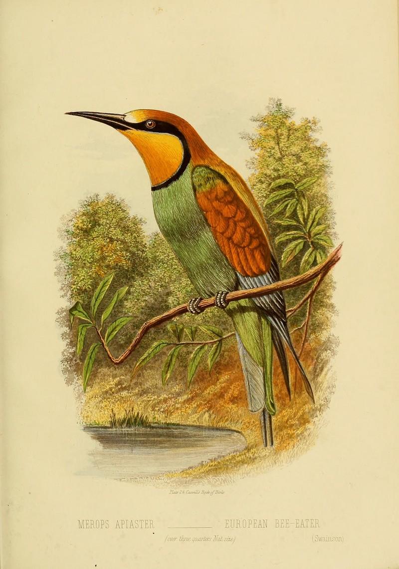 Cassell's book of birds (Plate XXIV) (8556709483) - European bee-eater (Merops apiaster).jpg