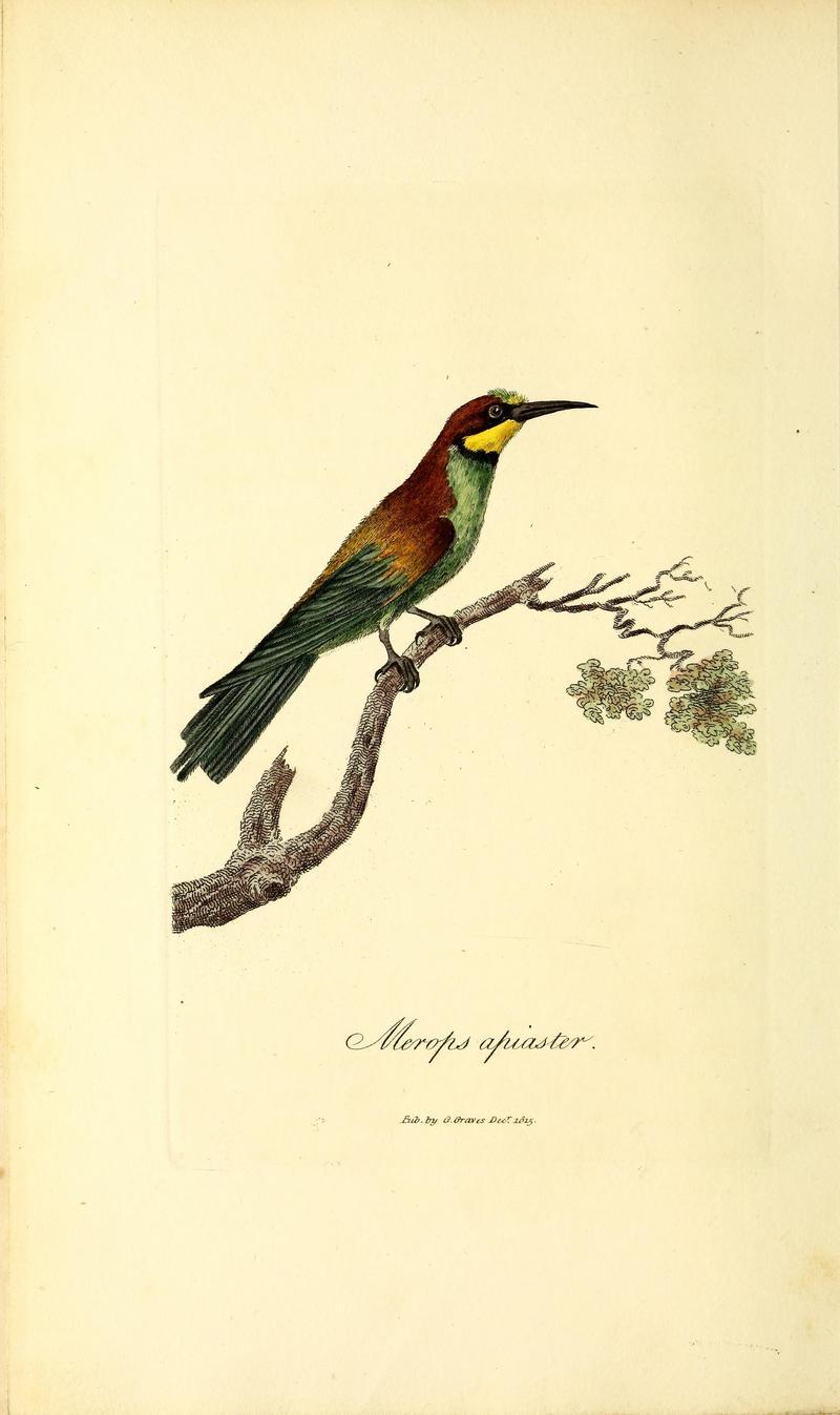 British ornithology BHL47497549 - European bee-eater (Merops apiaster).jpg