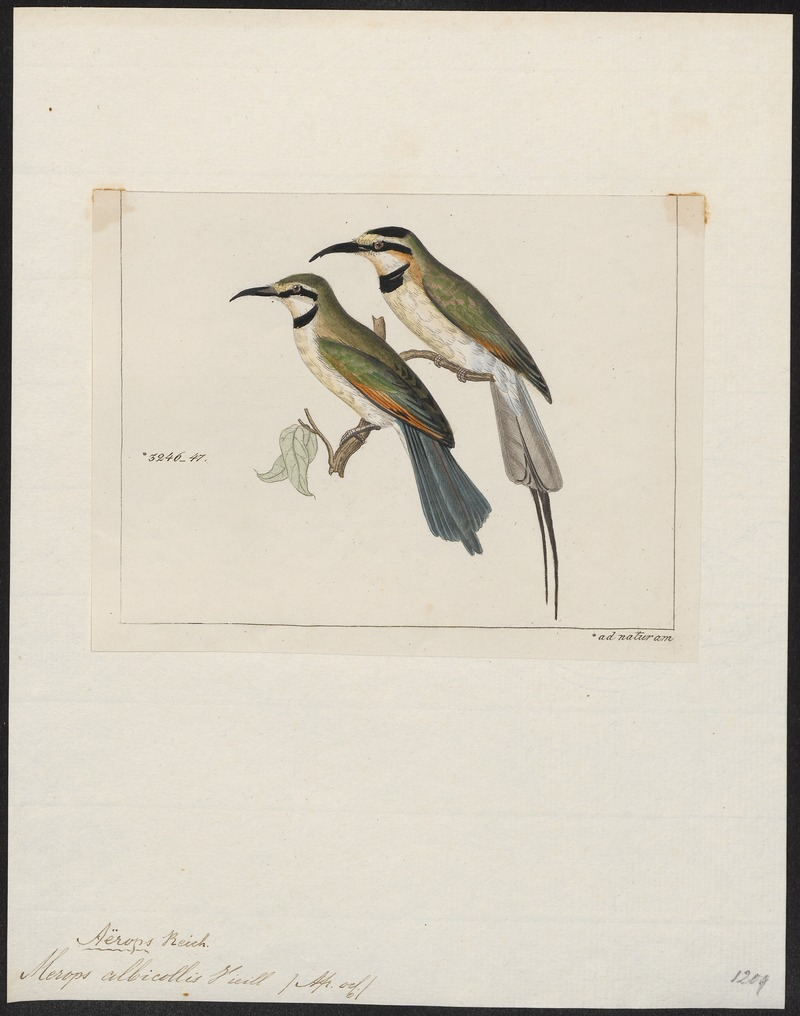 Merops albicollis - 1820-1863 - Print - Iconographia Zoologica - Special Collections University of Amsterdam - UBA01 IZ16800325 - white-throated bee-eater (Merops albicollis).jpg