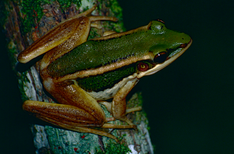 common green frog (Hylarana erythraea); DISPLAY FULL IMAGE.