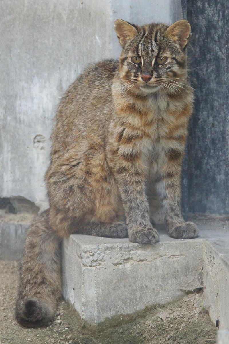Tsushima Cat 001 - Amur leopard cat (Prionailurus bengalensis euptilurus).jpg