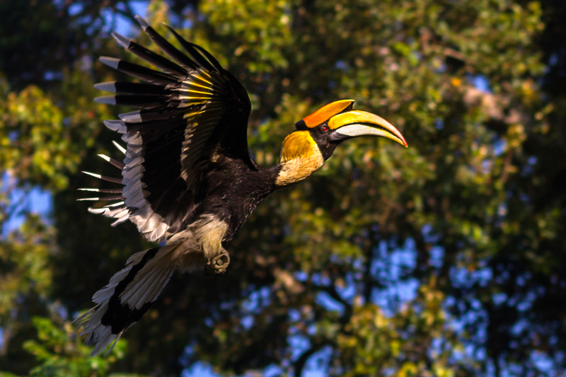 great hornbill (Buceros bicornis) male; DISPLAY FULL IMAGE.