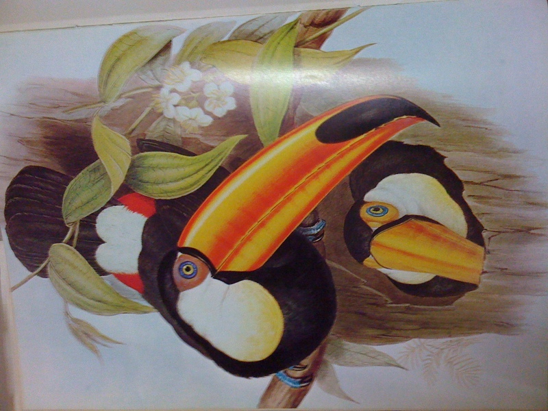 toco toucan (Ramphastos toco); DISPLAY FULL IMAGE.