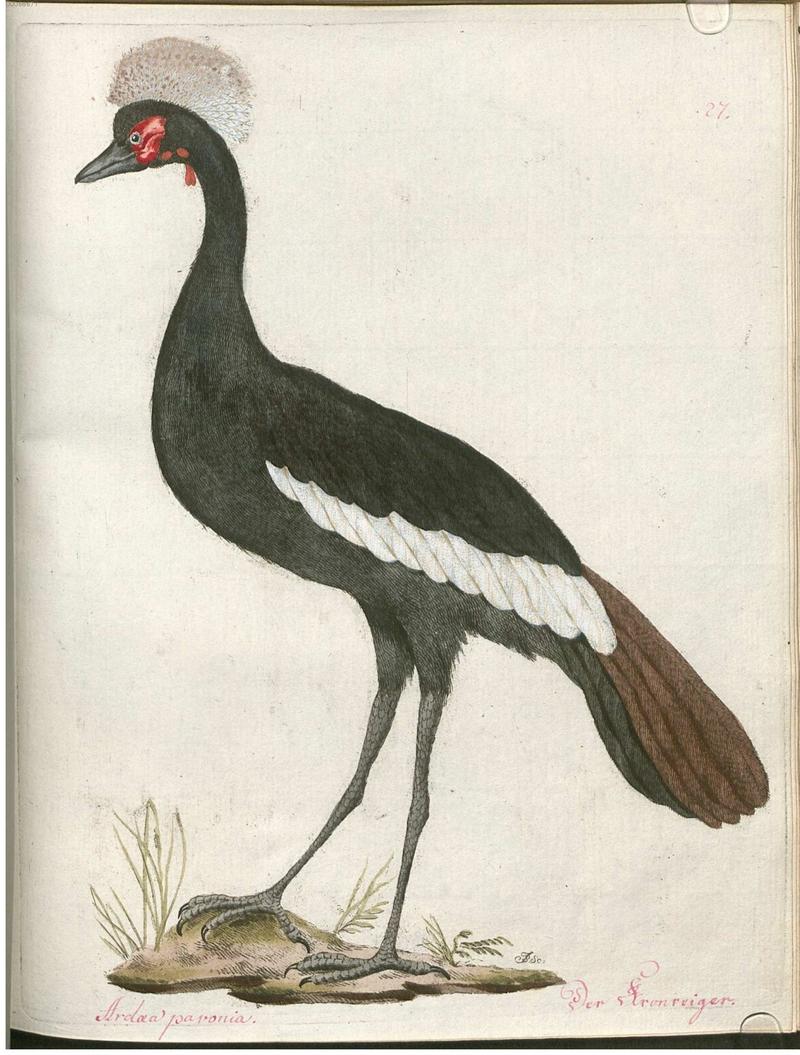 Beytrag zur Naturgeschichte der Vögel 2 Tafel 27 - black crowned crane (Balearica pavonina).jpg